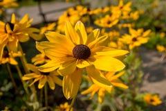 Fermez-vous des fleurs jaunes dans un jardin naturel Photos stock
