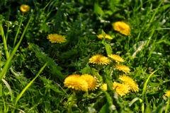 Fermez-vous des fleurs jaunes de floraison de pissenlit Images stock