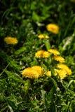 Fermez-vous des fleurs jaunes de floraison de pissenlit Photo stock