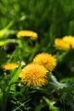 Fermez-vous des fleurs jaunes de floraison de pissenlit Images libres de droits