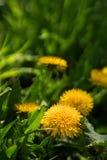 Fermez-vous des fleurs jaunes de floraison de pissenlit Photographie stock libre de droits