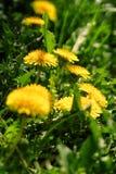 Fermez-vous des fleurs jaunes de floraison de pissenlit Photos stock