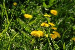 Fermez-vous des fleurs jaunes de floraison de pissenlit Image stock