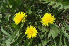 Fermez-vous des fleurs jaunes de floraison de pissenlit dans le jardin à l'heure le printemps Utilisé comme ingrédient médical d' image libre de droits