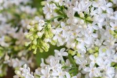 Fermez-vous des fleurs lilas blanches Images stock