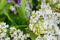 Fermez-vous des fleurs lilas blanches Photos libres de droits