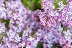Fermez-vous des fleurs lilas pourpres Images stock
