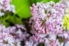 Fermez-vous des fleurs lilas pourpres Photographie stock