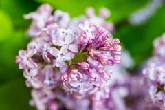 Fermez-vous des fleurs lilas pourpres Photo stock