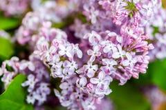 Fermez-vous des fleurs lilas pourpres Photo libre de droits