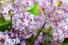 Fermez-vous des fleurs lilas pourpres Image stock