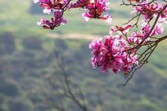 Fermez-vous des fleurs roses d'impetiginosus de Handroanthus d'arbre de trompette ; fond vert photographie stock