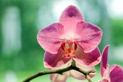 Fermez-vous des fleurs roses d'orchidée Images libres de droits