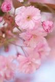 Fermez-vous des fleurs roses de fleurs de cerisier de Sakura Photo libre de droits
