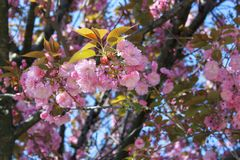 Fermez-vous des fleurs roses du cerisier du Japon Sakura en avril contre le ciel bleu lumineux en tant que beau fond de ressort d Images stock