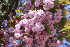 Fermez-vous des fleurs roses du cerisier du Japon Sakura en avril contre le ciel bleu lumineux en tant que beau fond de ressort d Photographie stock libre de droits