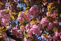 Fermez-vous des fleurs roses du cerisier du Japon Sakura en avril contre le ciel bleu lumineux en tant que beau fond de ressort d photos stock