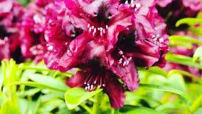 Fermez-vous des fleurs roses lumineuses de rhododendron en fleur sur le buisson banque de vidéos