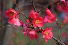 Fermez-vous des fleurs rouges lumineuses du coing fleurissant de tête brûlée photos stock
