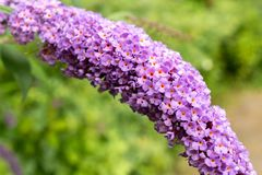 Fermez-vous des fleurs violettes et roses avec le fond hors focale images stock