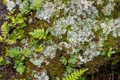 Fermez-vous des fougères de région boisée, lichens avec un fond vert moussu images libres de droits