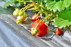Fermez-vous des fraises organiques fraîches Images libres de droits