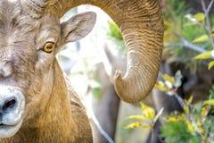 Fermez-vous des grands moutons de klaxon images stock