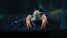 Fermez-vous des griffes de homard d'écrevisses banque de vidéos