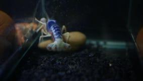 Fermez-vous des griffes de homard d'écrevisses clips vidéos