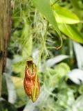 Fermez-vous des insectes d'usine-consommation de nepenthes Photo libre de droits