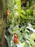 Fermez-vous des insectes d'usine-consommation de nepenthes Image stock