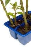 Fermez-vous des jeunes plantes impatientes Images stock