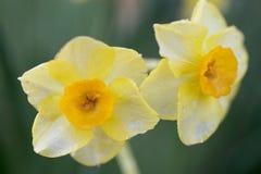 Fermez-vous des jonquilles jaunes photo stock