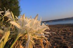 Fermez-vous des lis de sable et du ciel bleu Photo stock