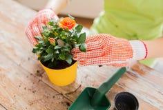 Fermez-vous des mains de femme plantant des roses dans le pot Image libre de droits