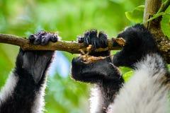 Fermez-vous des mains de lémur s'accrochant sur la branche Photo stock