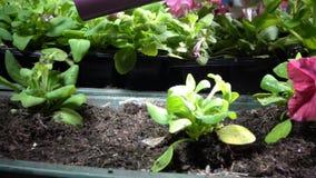 Fermez-vous des mains femelles arrosant la jeune plante plantée de pétunia dans des boîtes de jardin banque de vidéos