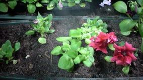 Fermez-vous des mains femelles arrosant la jeune plante plantée de pétunia dans des boîtes de jardin clips vidéos