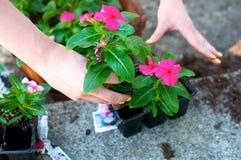 Fermez-vous des mains saisissant la fleur rouge Photos libres de droits