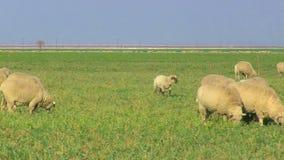 Fermez-vous des moutons frôlant dans le pâturage clips vidéos