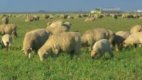 Fermez-vous des moutons frôlant dans le pâturage banque de vidéos