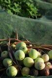 Fermez-vous des olives rassemblées sur un filet Photos stock