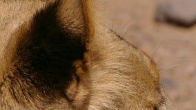 Fermez-vous des oreilles du lion femelle dans le bushveld africain, désert de Namib, Namibie images stock