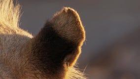 Fermez-vous des oreilles du lion femelle dans le bushveld africain, désert de Namib, Namibie image stock