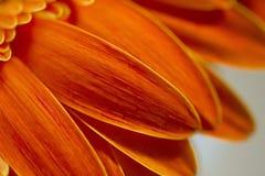 Fermez-vous des pétales de marguerite de Gerbera photographie stock libre de droits