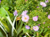 Fermez-vous des pétales humides dans le jardin de l'aster d'Italien d'amellus d'aster Image libre de droits