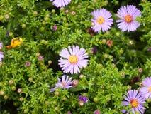 Fermez-vous des pétales humides dans le jardin de l'aster d'Italien d'amellus d'aster Photo libre de droits