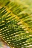 Fermez-vous des palmettes &#x28 de sagou ; Revoluta de Cycas photographie stock libre de droits