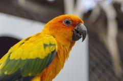 Fermez-vous des perroquets de Sun Conure Image libre de droits