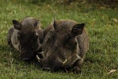 Fermez-vous des porcs de verrue de mère et de bébé au Zimbabwe Image libre de droits